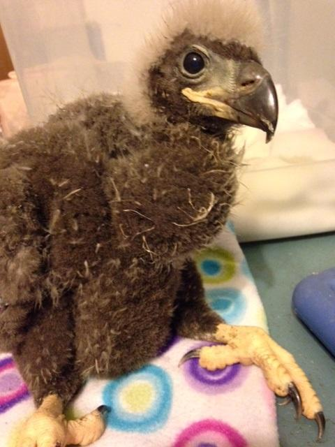 SGI eaglet photo Dorothy Kaufmann